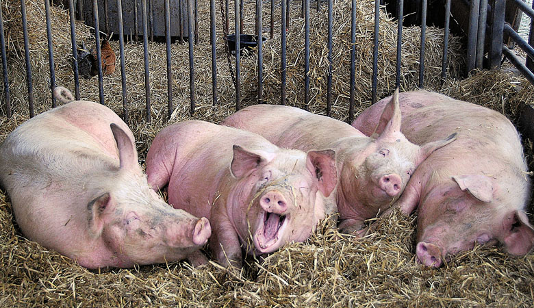 На Харьковщине из-за АЧС было уничтожено более тысячи голов свиней