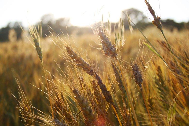 В Харьковском районе планируют собрать не менее 50 центнеров на гектар озимых