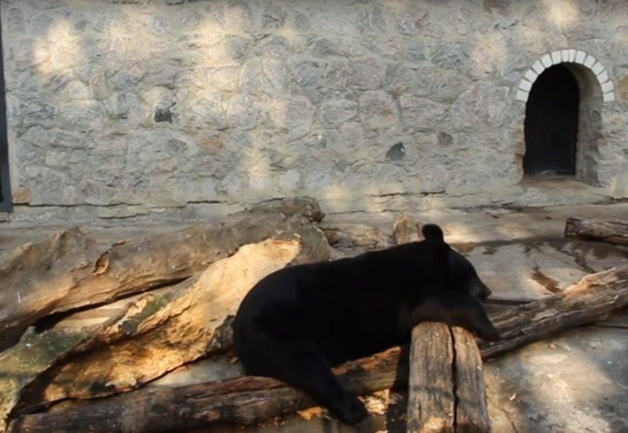 У Харківському зоопарку ведмеді готуються до сплячки (відео)