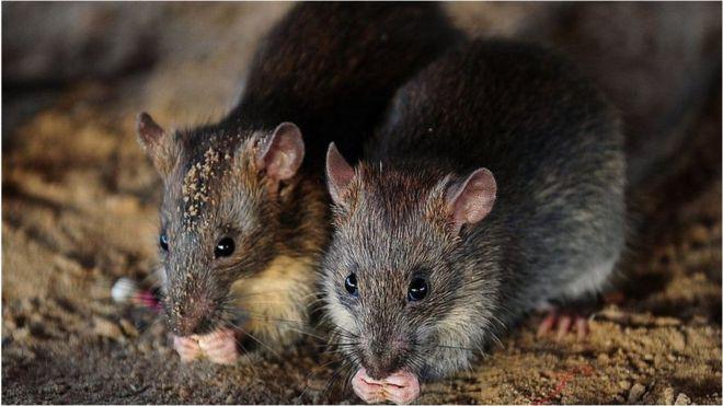 Крысы атакуют планету – ученые