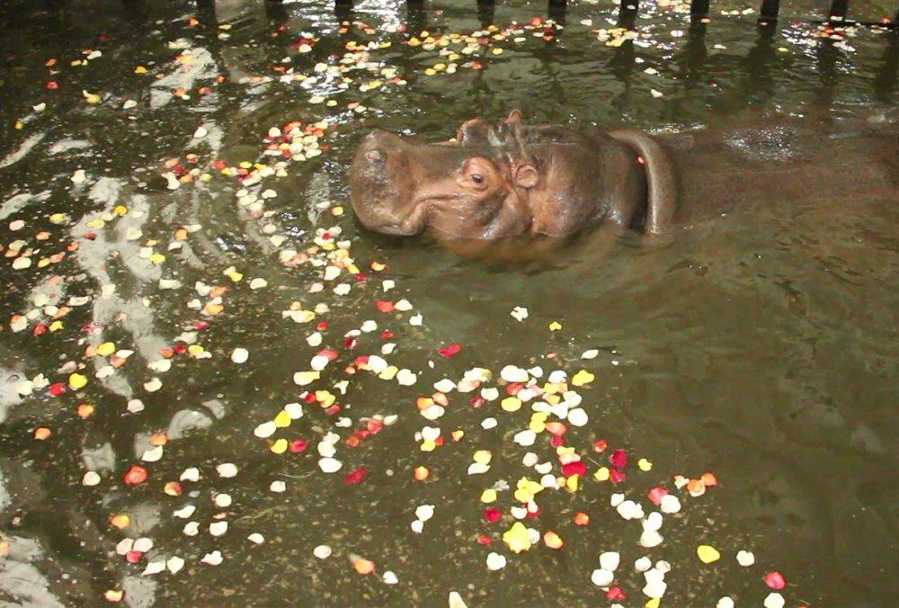 У Харкові бегемотиха Степанида викупалася у басейні з пелюстками троянд (відео)