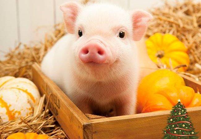 Рік жовтої свині: як відсвяткувати та чого чекати (відео)