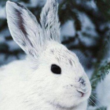 В Канаде ученые обнаружили необычных зайцев (видео)
