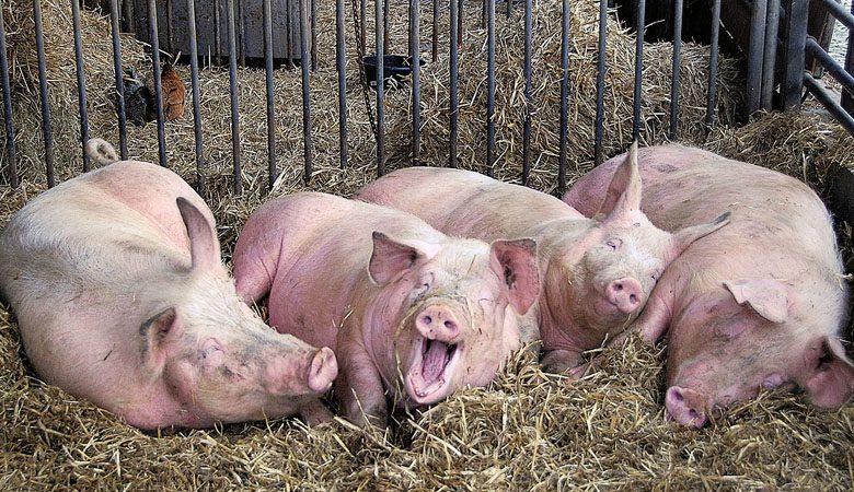 На выезде из Харькова выброшены останки свиней с АЧС