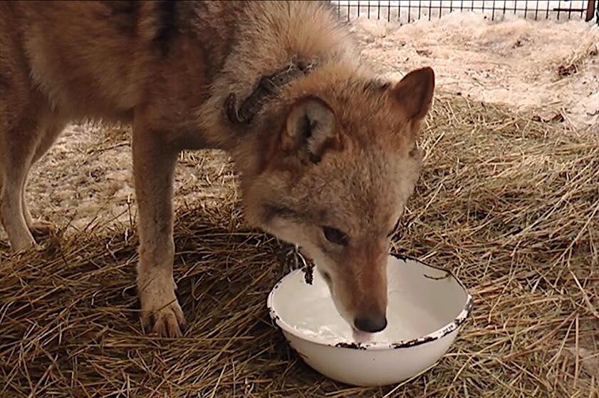 В Харькове приютили волка, которого хозяева держали на цепи (фото, видео)