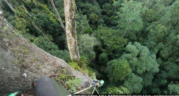 Самое высокое тропическое дерево в мире нашли на острове (видео)
