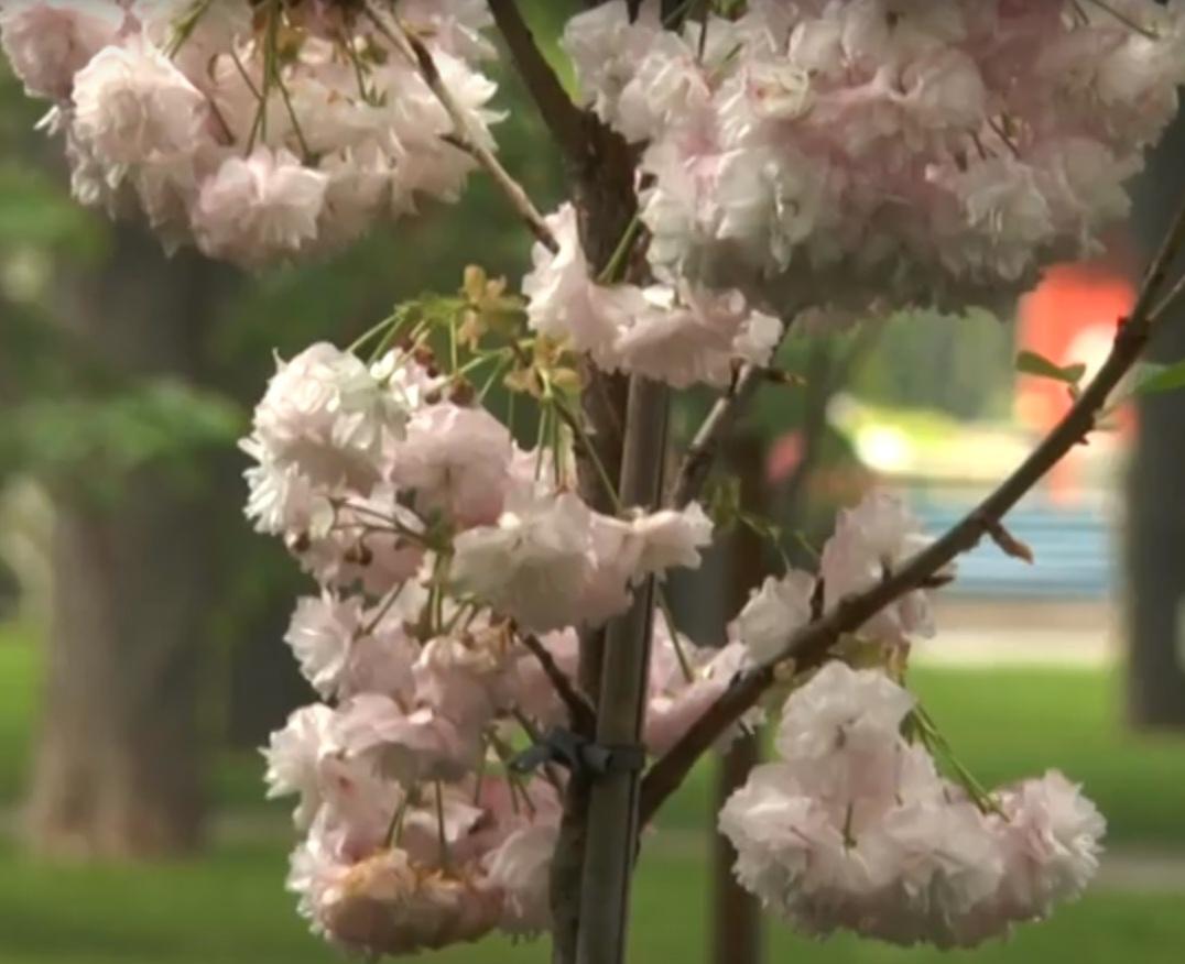 У парку Горького вперше зацвіла сакура (відео)