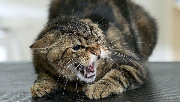 Под Харьковом ловят бешеного кота