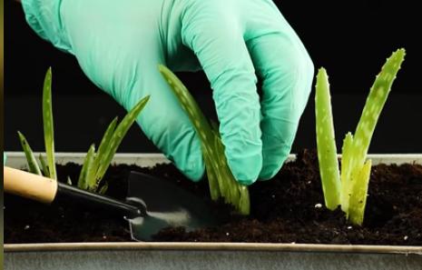 Лайфґак квітникарства: укорінюємо кімнатні рослини в банані