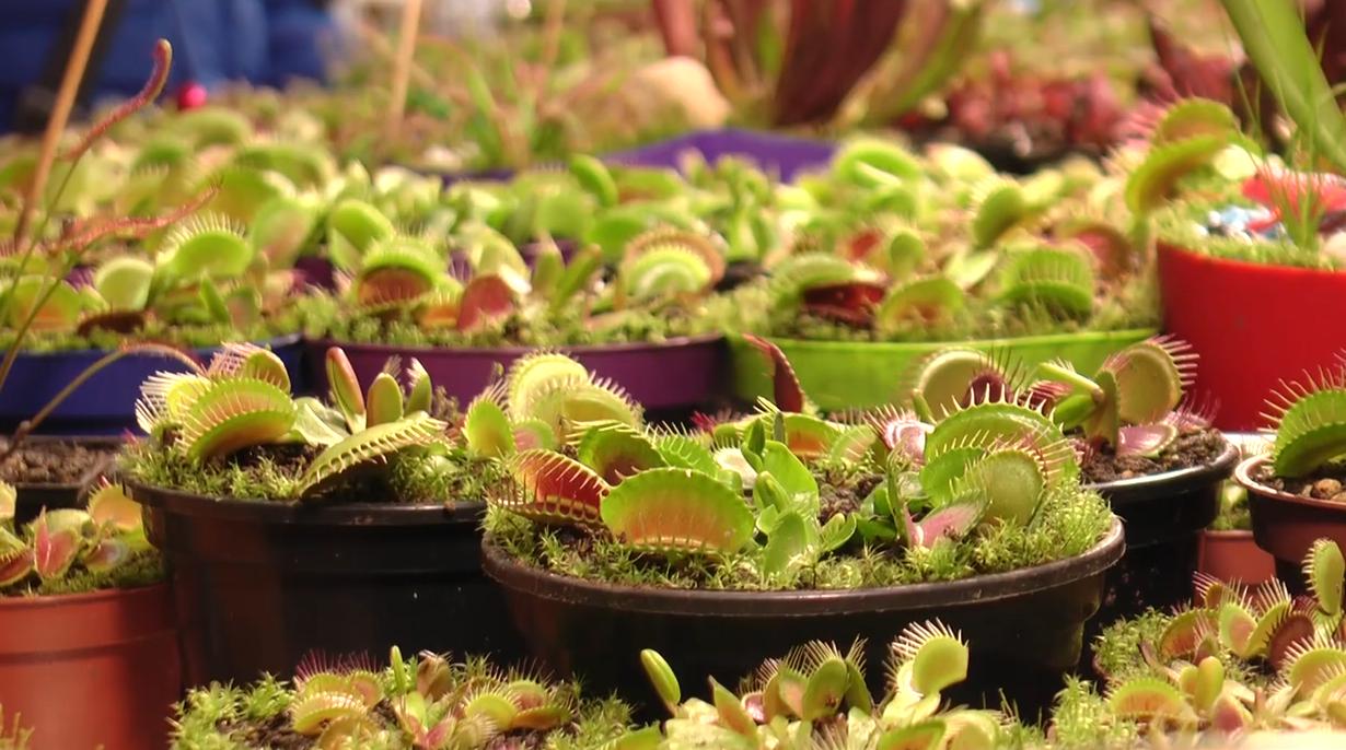 У Харкові можна безоплатно побачити колекцію хижих та екзотичних рослин (відео)