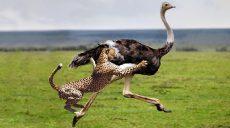 Катапультоподібний  екзоскелет чи роботизовані кросівки? Бігайте як страус або гепард!