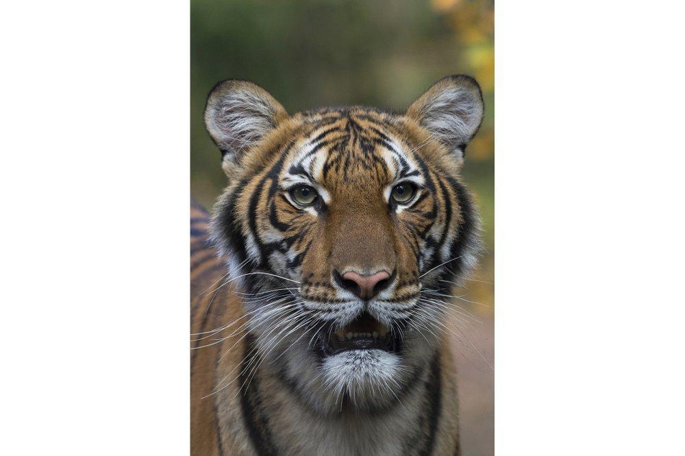 Вперше на COVID19 захворіла дика тварина – тигриця у зоопарку Нью-Йорка
