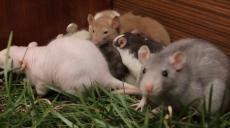 Швидкі, витривалі та розумні: у Харківському зоопарку розповіли, чим особливі щурики (відео)