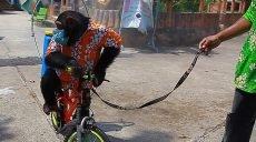 Мавпа дезінфікує алеї в зоопарку. Захисники тварин обурені