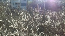 В  Харькове появились  белоснежные  цветы (фото)