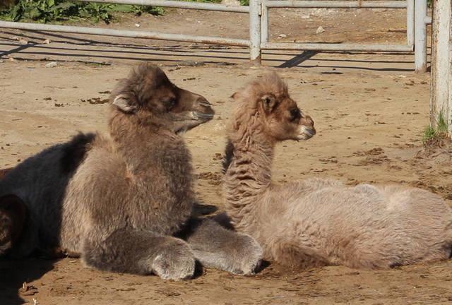 В харьковском зоопарке пополнение: три верблюжонка (фото, видео)