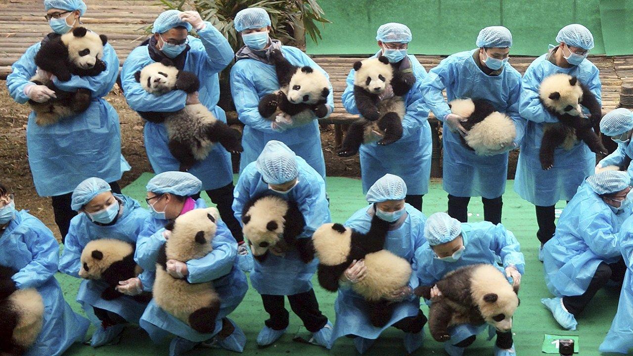 В Китае на наличие коронавируса проверили больше двух сотен панд