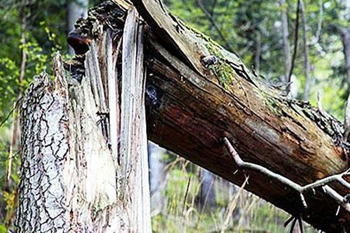 В районе ХТЗ упало дерево и перегородило дорогу (видео)