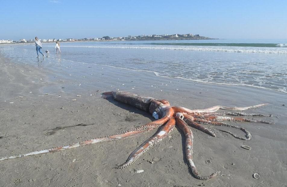 Огромного кальмара вынесло на берег в ЮАР (видео)