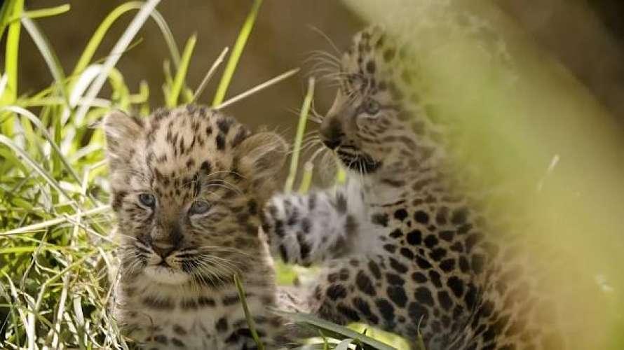 В зоопарке Сан-Диего родились двое необычных котят (видео)