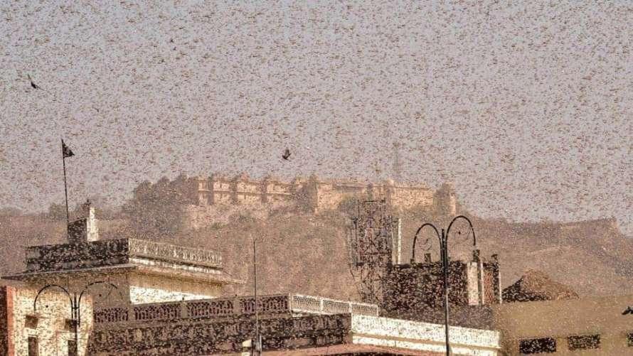 В Индии небывалое нашествие саранчи: на борьбу брошена авиация