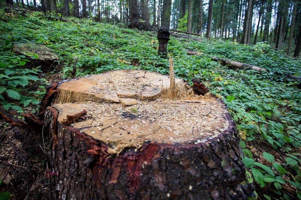 На Харківщині – черговий випадок незаконної вирубки дерев