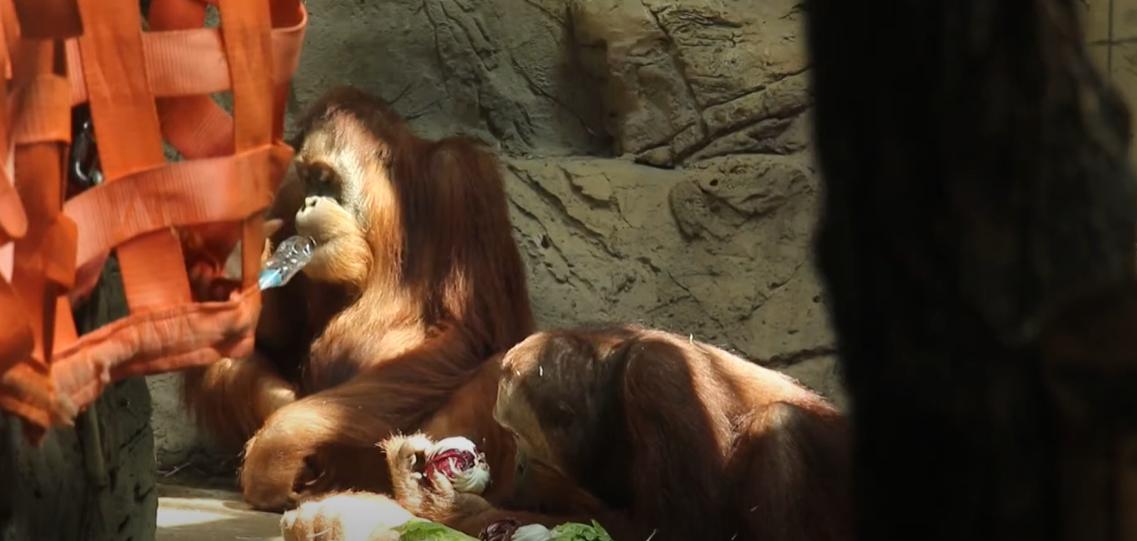 У Харкові орангутан привітав кохану з ювілеєм незвичайним перевтіленням (відео)