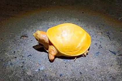 Очень редкий вид черепахи обнаружили в Индии (фото)