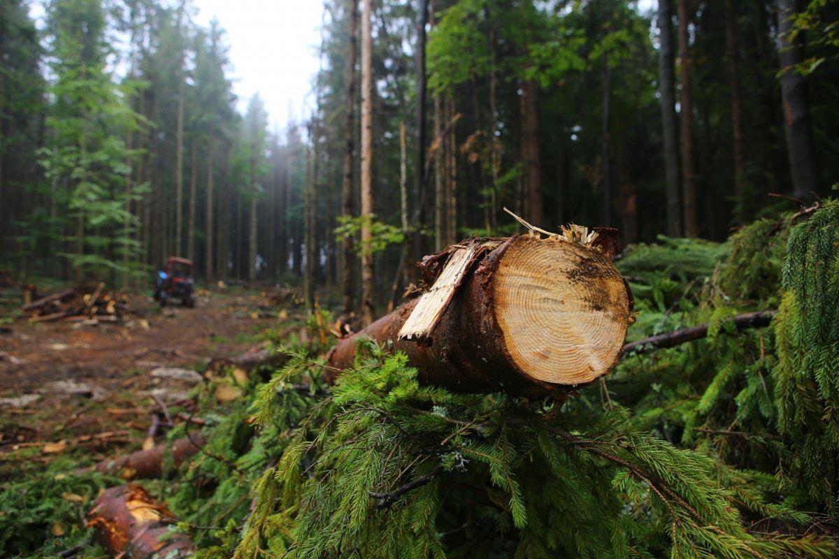 За 544 дуби – понад 9 млн грн: на Харківщині намагаються оштрафувати лісництво за незаконну рубку дерев