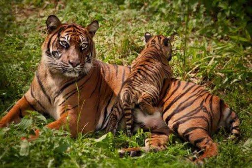 В Тайланде благодаря скрытым камерам удалось увидеть редких тигров в естественной среде (фото)