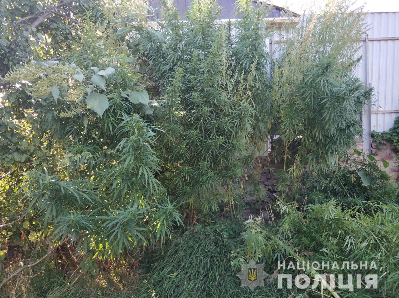 В Купянске у местного жителя в огороде нашли 85 кустов конопли (фото)