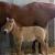 В США клонировали лошадь Пржевальского (фото, видео)