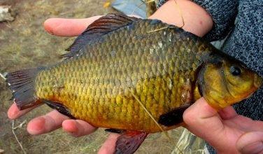 Защитим золотого карася от «Красной книги», а рыбаков – от бессмысленных штрафов