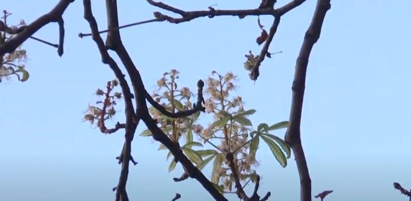 """""""Дерева щось переплутали"""": у Харкові восени зацвіли каштани (відео)"""