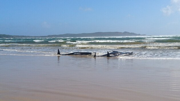 На побережье острова Тасмания массово выбросились киты (фото)