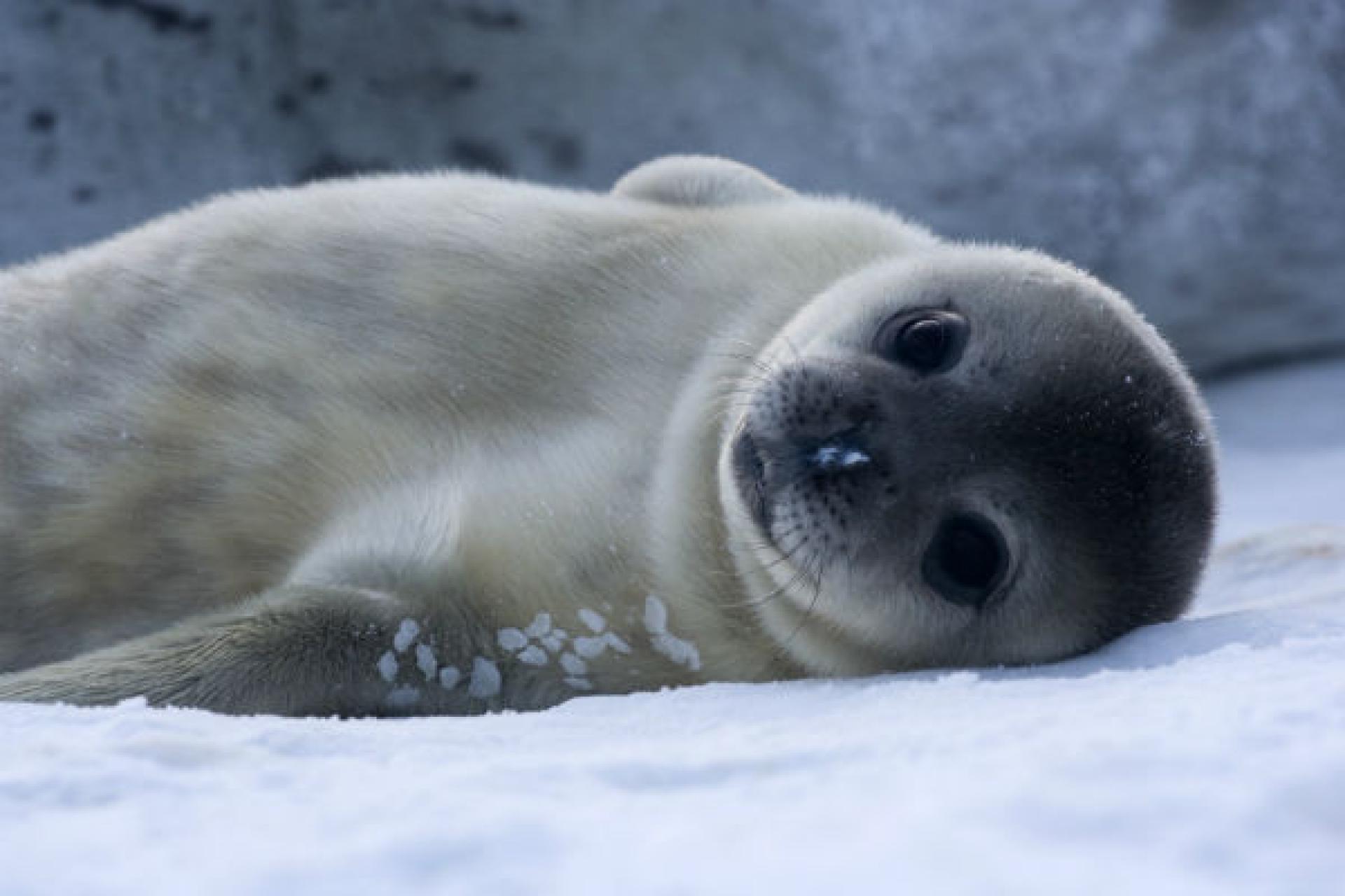 На станции «Академик Вернадский» родился тюлень (фото)