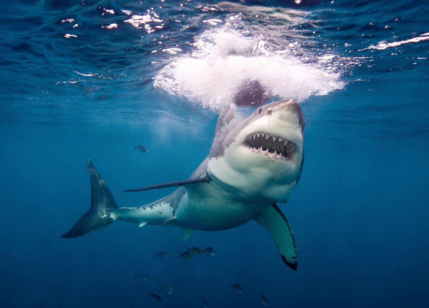 В Австралии за год зафиксировано 7 случаев убийства людей акулами