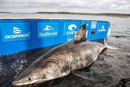 Гигантскую акулу-людоеда поймали в Канаде