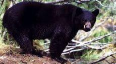 Медведи в Японии стали чаще нападать на людей — 2 погибших и больше 60 раненых за два месяца