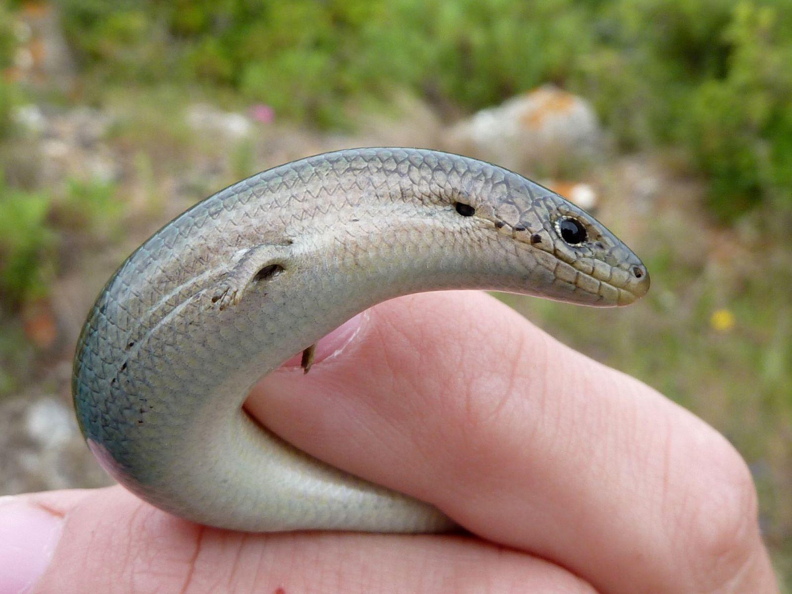 В Австралії знайшли унікальну ящірку (відео)