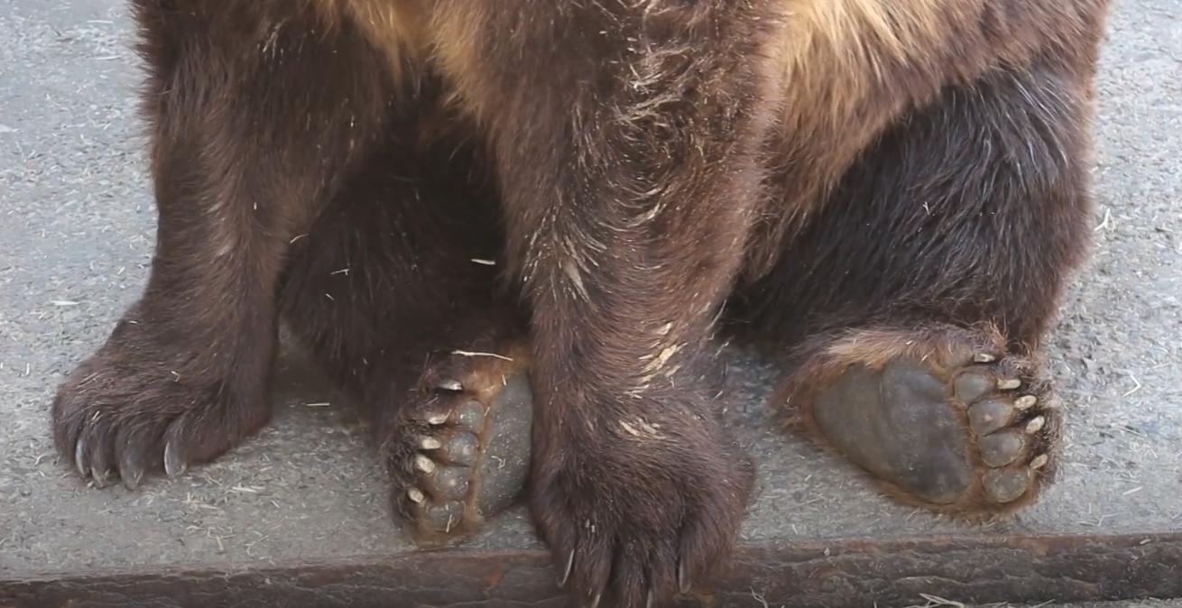 """Природні кросівки у левів і мозолі у бегемотів: у Харківському зоопарку розповіли про """"взуття"""" тварин"""