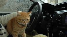 Рудий змінює професію: харківській кіт-таксист тепер ще й автоблогер (відео)
