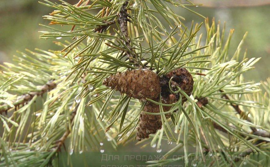 Купити найдешевшу ялинку: у лісгоспах Харківщини спиляли 14,5 тисяч новорічних дерев (відео)