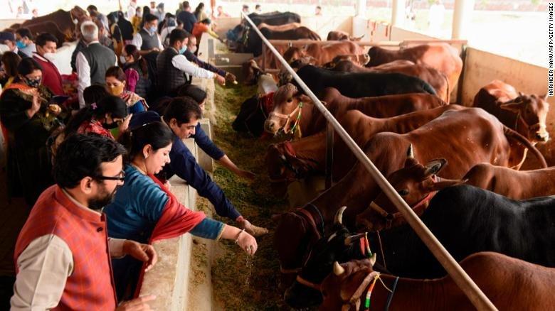 В Индии подростки будут сдавать экзамен на знание коров