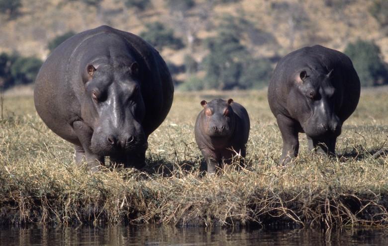 Эко-система Колумбии под угрозой из-за бегемотов Пабло Эскобара