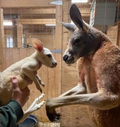 Редкий белый кенгуру появился на свет в Нью-Йоркском зоопарке (фото)