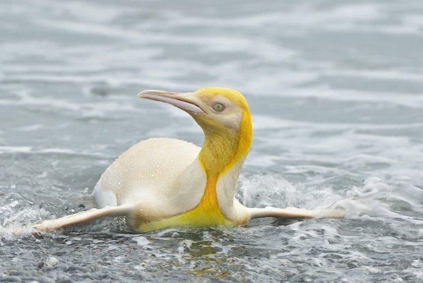 В Южной Атлантике фотографу удалось снять на камеру необычного желтого пингвина (фото)