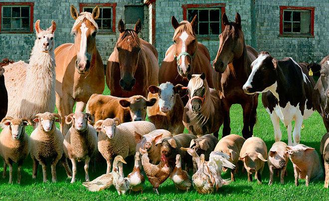 После людей COVID-19 начнет поражать сельскохозяйственных и домашних животных – прогноз