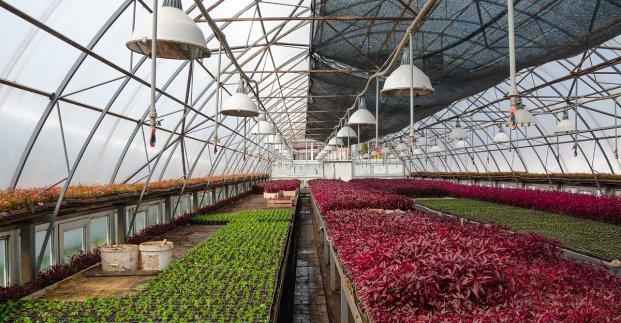 В харьковских теплицах выращивают альтернантеры, ирезины и цинерарии для озеленения города