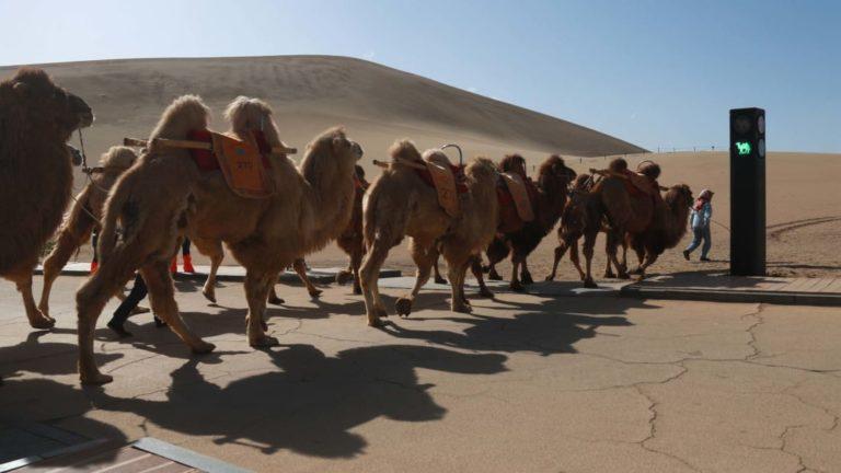 В Китае появился светофор для верблюдов в пустыне (фото)